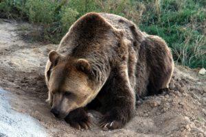 Bild eines Bären